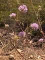 H20130601-8411—Monardella villosa ssp franciscana—Walker Ridge (9233612896).jpg
