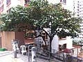 HK 上環 Sheung Wan 普慶坊 Po Hing Fong tree crown Pound Lane Jan-2012 Ip4.jpg