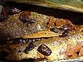 HK canned food 豆豉鯪魚 Black Bean oil fish Dec-2015 DSC.JPG