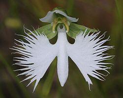 Habenaria radiata flower.JPG