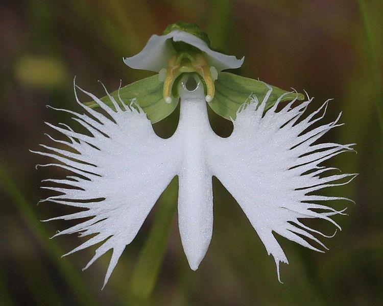 ファイル:Habenaria radiata flower.JPG