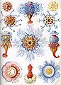 Haeckel Siphonophorae.jpg