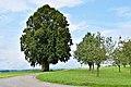 Haibach ob der Donau - Naturdenkmal nd587 - Sommerlinde (Tilia platyphyllos) - Linde beim Lindnerhof.jpg