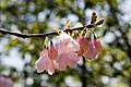 Halesia carolina Arnold Pink 1zz.jpg