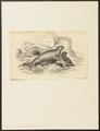 Halichoerus gryphus - 1700-1880 - Print - Iconographia Zoologica - Special Collections University of Amsterdam - UBA01 IZ21100149.tif