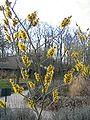 Hamamelis mollis dans le parc floral de Paris1.JPG