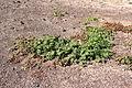 Haría - Lugar Diseminado Maguez-LZ-1 - MNLC - La Caleta - Mesebryanthemum crystallinum 02 ies.jpg