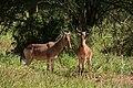 Hartebeest, Tarangire National Park (3) (28101312133).jpg