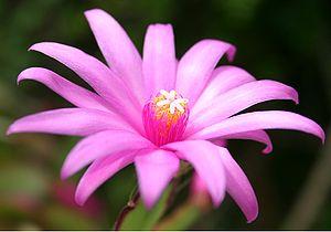 Hatiora ×graeseri flower.jpg