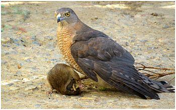 Hawk-Wiki-Upload.jpg