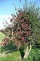 Hawthorn in fruit - geograph.org.uk - 987242.jpg