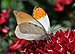 Hebomoia glaucippe qtl2.jpg