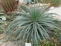 Hechtia stenopetala.png