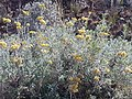 Helichrysum splendidum02.jpg