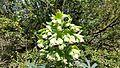 Helleborus foetidus (24827226372).jpg