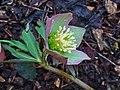Helleborus purpurascens 002.JPG