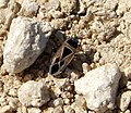 Hemiptera. Xanthochilus saturnius (32742452870).jpg