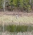 Heron on Loch Moraig N - geograph.org.uk - 767570.jpg