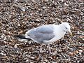 Herring Gull 001.JPG