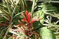 Hibbertia dentata 0zz.jpg