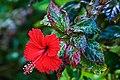 Hibiscus - Flickr - besopha.jpg