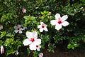 Hibiscus - Jardim Botânico Tropical - Lisbon, Portugal - DSC06554.JPG
