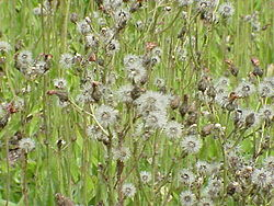 meaning of hieracium