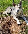Hippie, a wolf grey saarloos wolfdog.jpg