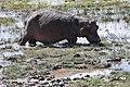 Hippopotamus amphibius 04.jpg
