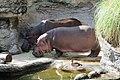 Hippopotamus in Tennoji Zoo.jpg