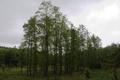 Hoher Vogelsberg Wannersbruch NR 319289 Reforestation Alnus glutinosa.png