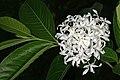 Holarrhena pubescens 1DS-II 3-2829.jpg