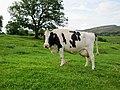 Holstein Friesian UK Yorkshire July 2011.jpg