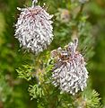 Honey Bee on Bottlebrush Spiderhead (Serruria brownii) (32575599320).jpg