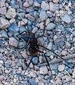 Hormiga de dunas del desierto de Namib (Camponotus detritus), Cañón Sesriem, Sossusvlei, Namibia, 2018-08-06, DD 207.jpg