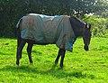 Horse (4158905197).jpg