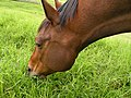 Horse Grazing. James Brennan Molokai Hawaii - panoramio.jpg