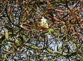 Horse chestnut blossom in autumn - geograph.org.uk - 268040.jpg