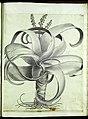 Hortus Eystettensis, Vorzeichnungen (MS 2370 2952850) -Autumnalis,4,2.jpg