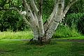 Hortus Haren. Meerstammige berk (Betula) 02.JPG