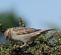 House Sparrow (2).jpg