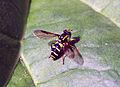 Hoverfly (2552650947).jpg