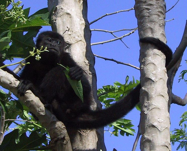 File:Howler monkey20020316 cropped.jpg