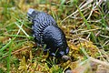 Huge black slug feasting on hare droppings. - geograph.org.uk - 455122.jpg
