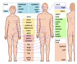 Human body features-en.svg