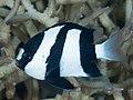 Humbug dascyllus (Dascyllus aruanus) (48652156722).jpg