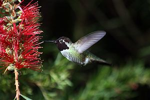 Pollination - Hummingbirds typically feed on red flowers