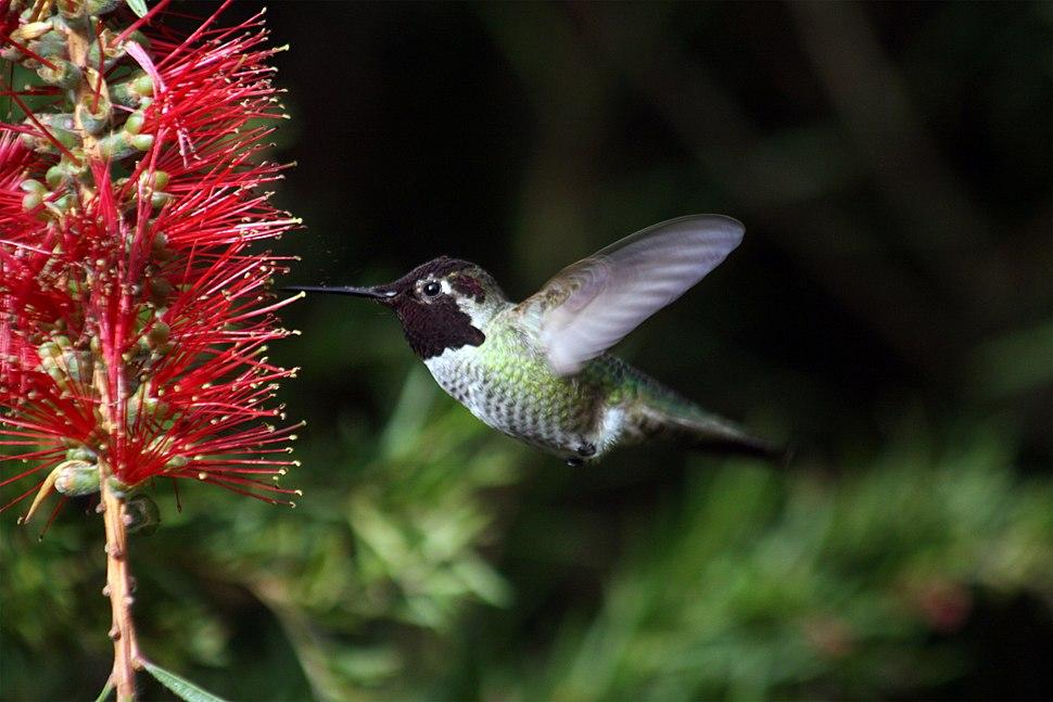 Hummingbird in ggp 7