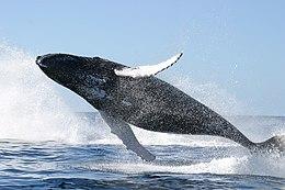 В среднем синий кит имеет длину тела 30 метров и весит около 150 тонн.