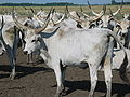 Hungarian Grey Cattle6.jpg